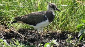 Wiesenvogelschutz