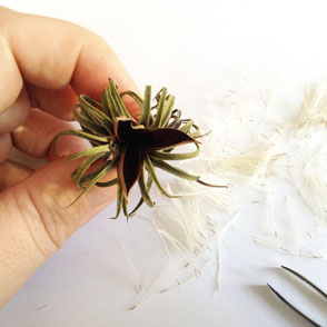Growing Tillandsia Air Plants from Seeds by PASiNGA