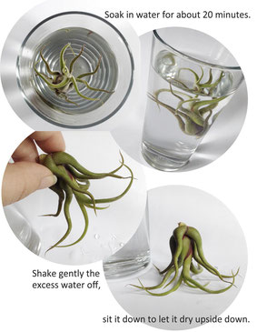 Air Plant Care Tips By PASiNGA