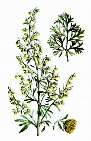Blühende Abrotanum Pflanze
