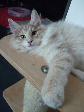 Rumil stays in Cattery Cerin Amroth´s