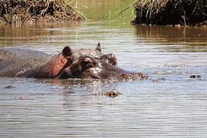 Flusspferd Tansania Safari