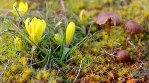 La Gagée de bohème aime les crêtes ventées des Cevennes schisteuses très tôt au printemps.