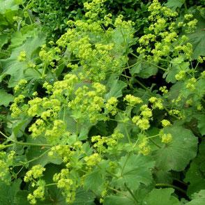 Mein Garten - Buttergelb - Frauenmantel