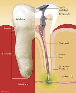 Schematischer Aufbau eines Zahnes mit Abbildung des Wurzelkanals.