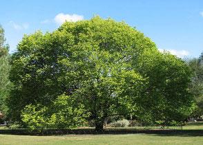 Plantation arbre gros sujet rennes