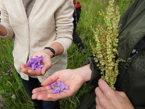 WerkstattMurberg.at Kraeuterkochkurs das Sammeln Bild 2 Essbare Blumen und Kräuter für den Salat