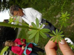 WerkstattMurberg.at Kraeuterkochkurs das Sammeln Bild 4 Wie heißt diese Pflanze? Kann ich die essen?