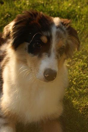 Hund , Australian Shepherd