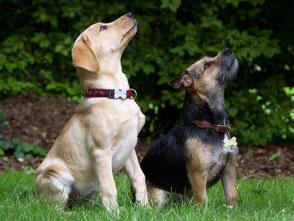Wartende junge Hunde im Sitz