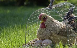 Henne sitzt in einem kleinen Käfig