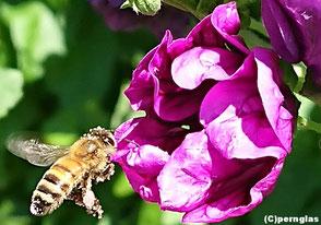 Biene an einer Blüte