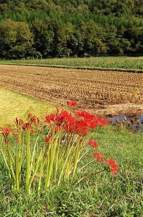 慣行栽培の田んぼでも除草剤を撒いていません