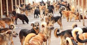 Hilfsprojekte für Straßenhunde in Russland