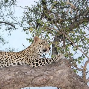 Leopard im Sabi Sand Wildreservat