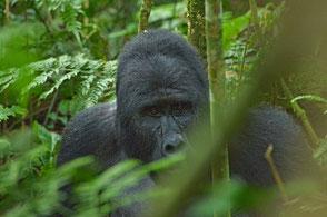 Gorillareisen nach Uganda - Equatours