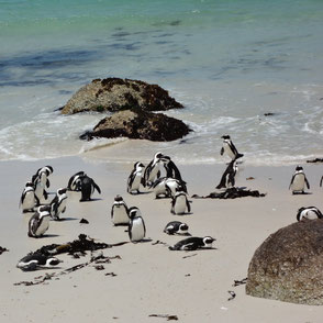 Pinguine am Kap der Guten Hoffnung