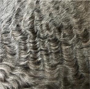 German Rex Curly Fur Cat