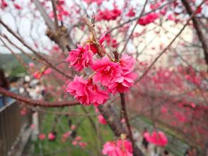 台湾 台北 活楽公園 桜 お花見 台湾旅行記 菜ちゃんのページ