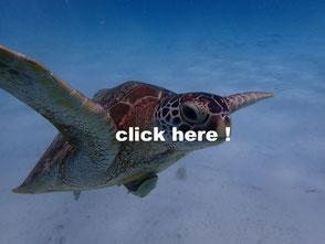 レダン島のオアウミガメ