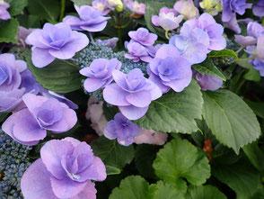 アジサイの花も咲いていました