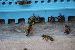 Flugloch mit Bienen