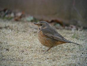 ・2008年2月16日 北本自然観察公園  ・体を膨らませているとツグミの体形に見えない。斜面から芝地に出てきた。