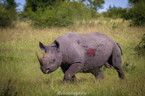 Afrika, Botswana, Simbabwe, Rhino, Krüger, Tiere, Nationalpark, Africa,