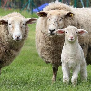 zwei Schafe mit Lamm auf einer Wiese