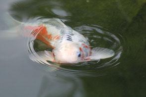 Wer Fische liebt, wird viel Spaß mit seinem neuen Fischteich haben...