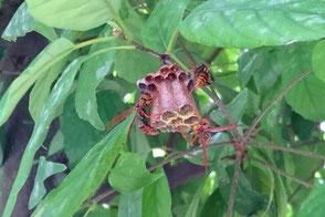 ハニカム構造に作り始めている蜂の巣