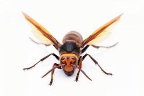 羽を広げて威嚇している様な姿のスズメバチの写真