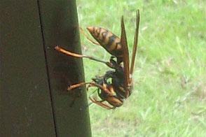 餌を丸めて肉団子にしている足長蜂