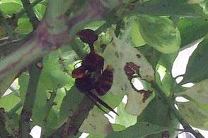 巣を作り始めているスズメバチの女王