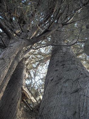 Cyprès de la Ritournelle - troncs