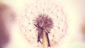 www.ronaldosephius.nl Dandelion paardenbloem roze met steel Bewust Groeien vanuit innerlijke kracht