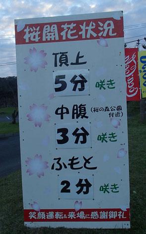 八重岳 桜まつり 開花状況