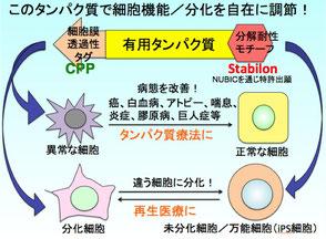 カイコの変態における絹糸腺分解の分子機構