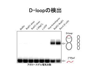 D-loop形成