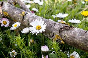 auf-der-frühlingswiese-gaensebluemchen-an-baumstamm