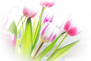 zarte-tulpen-weiss-rosa-vignette-makro