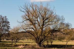 Baum auf Streuobstwiese