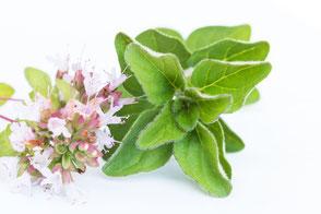 Frisches-Oregano-mit-Blüten