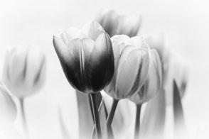 zarte-tulpen-black-and-white-makro