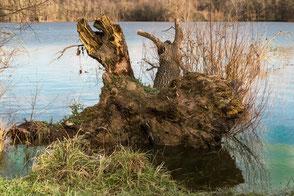 Baumwurzel im See