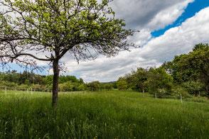 Bäume auf der Streuobstwiese im Frühling