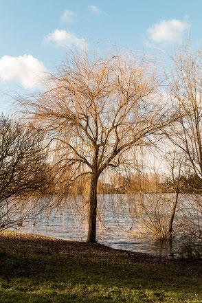 Trauerweide am See strahlt golden in der Sonne