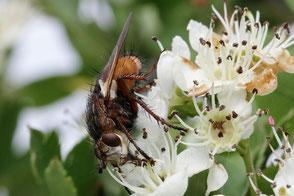 igelfliege-saugt-nektar