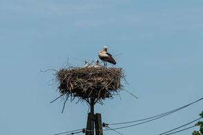 weiss-storchen-nest-stoerche-II