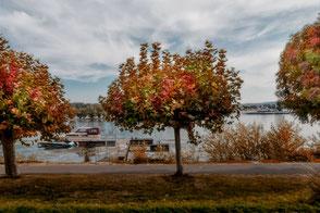 Herbst am Rhein-Bunte Bäume